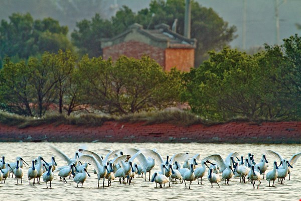 A perfect combination of local landscape and black-faced spoonbills, spotted in Tainan's Tucheng area.