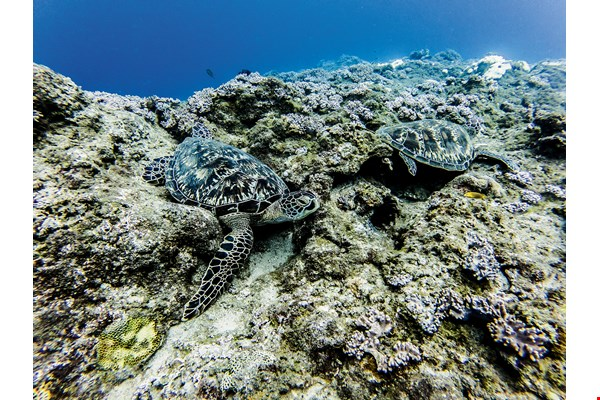 After more than 20 years of environmental conservation in Xiaoliuqiu, the numbers of sea turtles are increasing. (photo by Lin Min-hsuan)