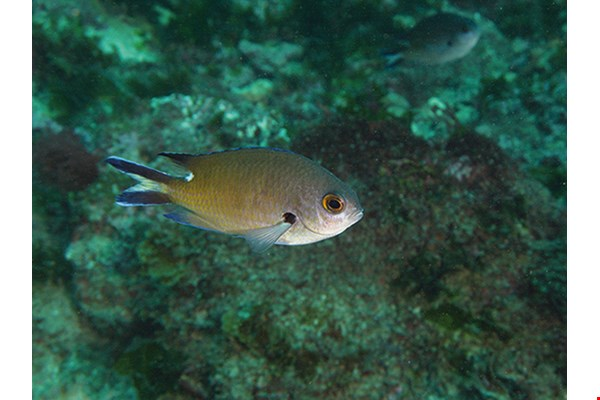 Smokey chromis (Chromis fumea) Main habitats: Lagoon and seaward coral and rocky reefs.