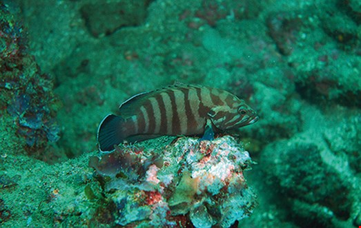 Chocolate hind (Cephalopholis boenak) Habitat: Silty dead reefs in protected waters.