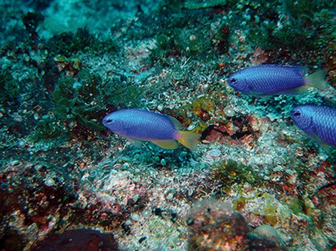 Neon damselfish (Pomacentrus coelestis) Habitat: Rubble beds of lagoon and seaward reefs.