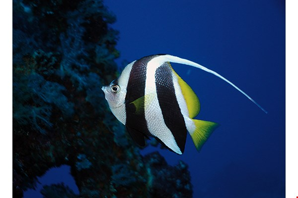 The waters around Taiwan have the world's highest numbers of species in the butterflyfish and angelfish families. (courtesy of the Fish Database of Taiwan)