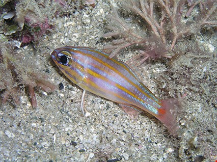 Yellowstriped cardinalfish  (Ostorhinchus cyanosoma) Main habitats: Sheltered clear water areas of lagoon and seaward reefs.