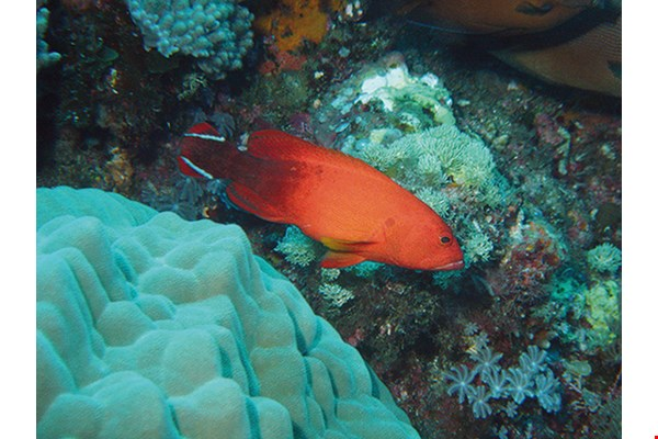 Darkfin hind (Cephalopholis urodeta) Habitats: Rocky areas of lagoon reefs;  shallow outer reef slopes.