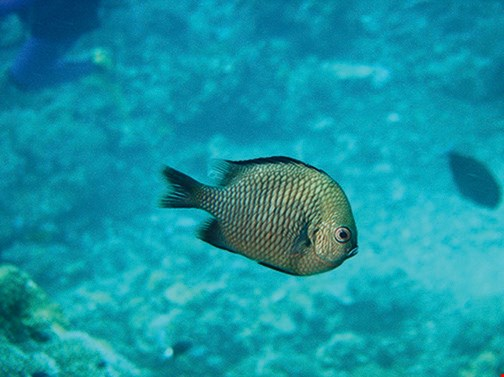 Reticulated damselfish  (Dascyllus reticulates) Habitats: Outer lagoon and seaward reefs;  inhabits branching coral heads and silty habitats.