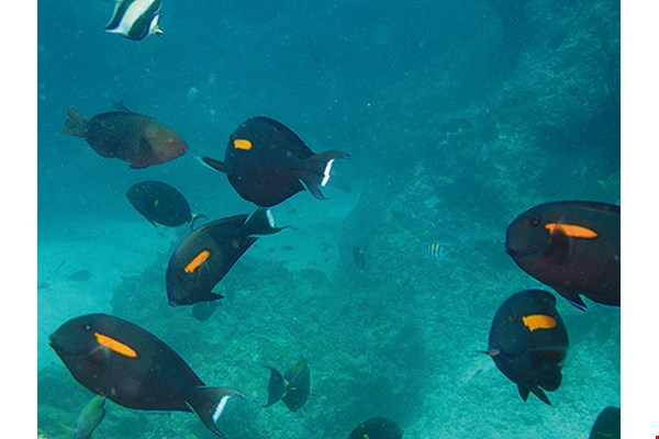 Orangespot surgeonfish  (Acanthurus olivaceus) Main habitats (adults): Seaward reefs near tidal ponds, in areas of bare rock or mixed rubble and sand.