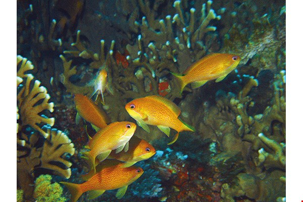 Sea goldie (Pseudanthias squamipinnis) Habitats: Coral outcrops or patch reefs of clear lagoons, channels, or outer reef slopes.