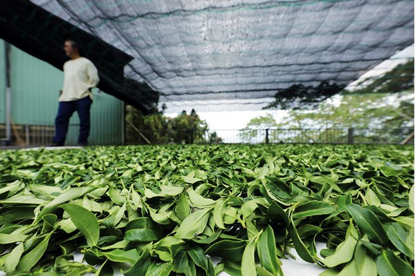 Tea masters use their experience to judge the proper amount of time for withering of the leaves, as just the right degree of dryness can improve the tea's flavor.