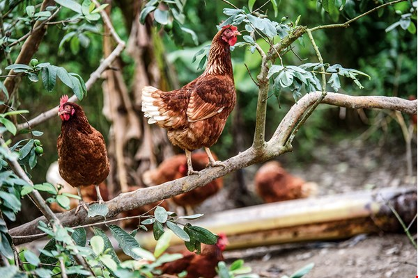 Free-range chickens raised in Eastern Taiwan. Eating food from a specific region is an opportunity to learn about the area's terroir and culture. (courtesy of Taberu in Eastern Taiwan)