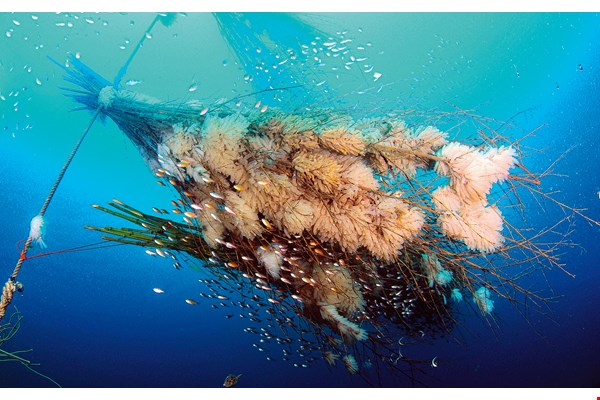 Bamboo is bound into fan-shaped bundles to replicate the function of sea fan coral in providing places for bigfin reef squid to spawn. The large number of egg capsules testifies to the success of efforts to restore the squid population. (photo courtesy of Wang Ming-hsiang)