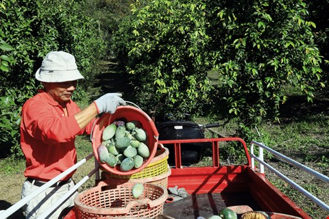 Frank Fan's bountiful harvest this year makes him the best spokesperson for the Miaoli No. 1 jelly-fig cultivar. (photo by Jimmy Lin)