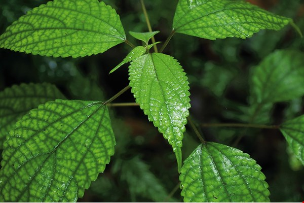 Liv (false nettle, Boehmeria) is a favorite food of Formosan sika and Reeves's muntjac.