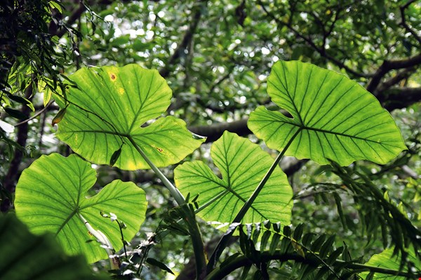 Baykal leaves (elephant ear, Alocasia) can be used as mini-umbrellas.