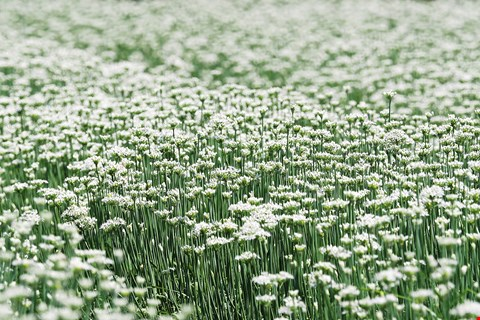 A field of garlic chives in blossom (photo by Jimmy Lin)